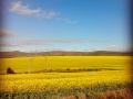 Villiersdorp | Wander through the Canola fields.