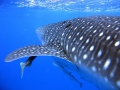 Natural Moments | Whale Shark