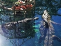 Crocodile cage diving.