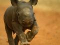 Kapela, the Rhino calf.