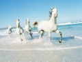 Horses trotting in the Noordhoek surf.
