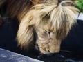 One gorgeous Lion.